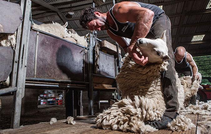 sheepfeat.jpg